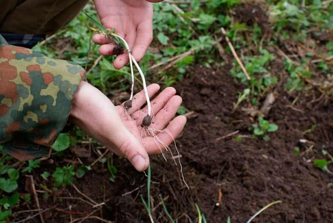 Когда сажать лук весной лучше?