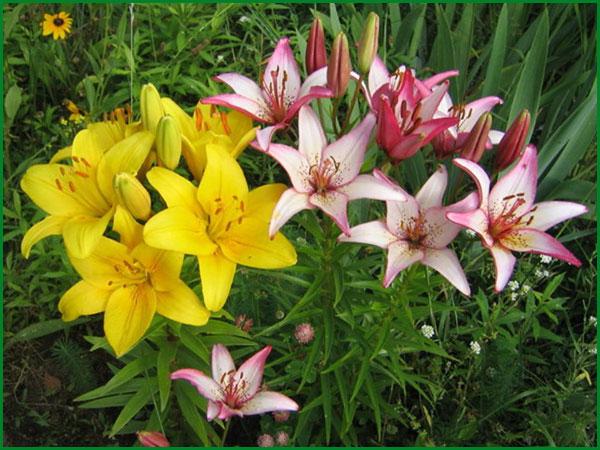 Посадка и уход за лилиями в саду. Виды лилий