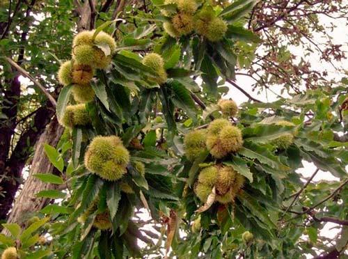 Каштан: посадка и уход в открытом грунте, сорта и их выращивание