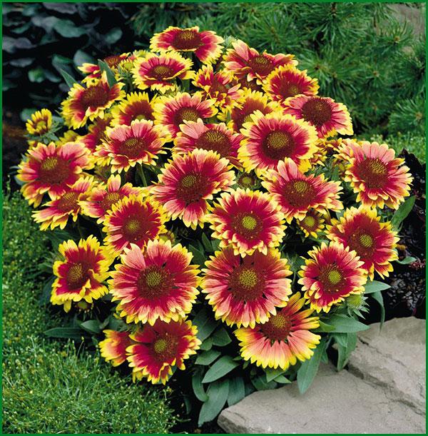 садовые многолетние фото сорта цветы