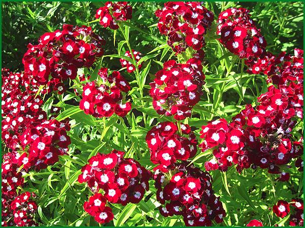 Гвоздика турецкая садовая многолетняя посадка и уход