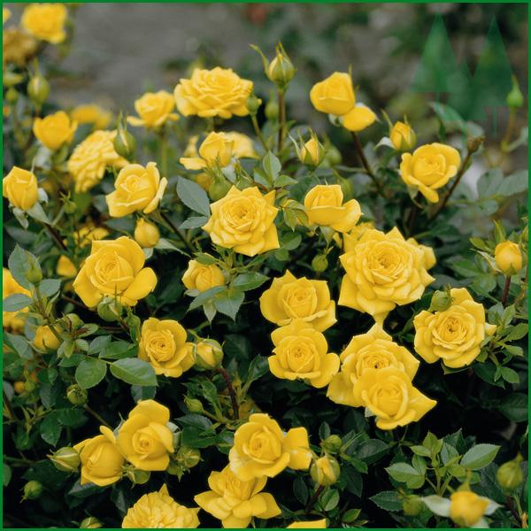 розы посадка и уход в открытом грунте