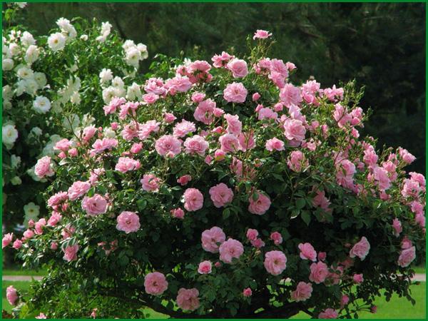 Как правильно сажать голландскую розу закапывать